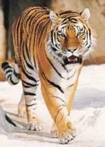 save tiger